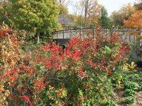 Ilex verticillata 'Winter Red' in October. Photo © Elaine Mills