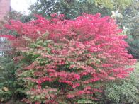 Burning Bush (Euonymus alatus) in October. Photo © Elaine Mills