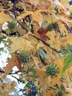 Liquidambar styraciflua (Sweetgum) fruit in November.Photo © Elaine Mills