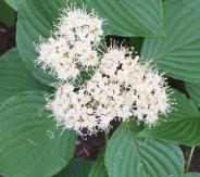 Cornus alternifolia (Pagoda Dogwood) flower details in May. Photo © Elaine Mills