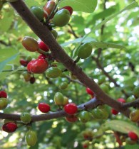 Lindera benzoin ((northern) spicebush) ripening drupes in September. Photo © Elaine Mills