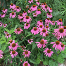 Echinacea purpurea (Purple Coneflower) en masse in July.Photo © Elaine Mills