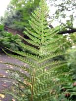 Underside of fertile pinnae of Athyrium asplenioides (southern lady fern) in October. Photo © Elaine Mills