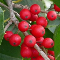 Ilex opaca (American holly) drupes in December. Photo © Mary Free