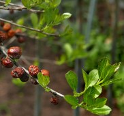 Ilex verticillata (Winterberry) 'Red Sprite' old fruit and new leaves in April. Photo © Mary Free