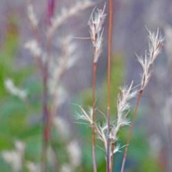 Schizachyrium scoparium (Little Bluestem) seed heads in October. Photo © Mary Free