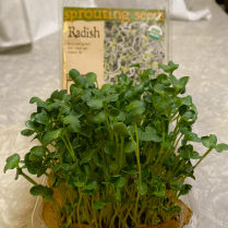 Another repurposed pint-sized clamshell, soilless mix, coffee filter. Radishes are one of my favorite microgreens- nice spicy flavor, and they grow very quickly! 1 week old, but of harvestable size a couple days earlier. If you like radishes, give these a try.