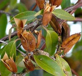 Gelsemium sempervirens (Carolina Jessamine) ripe capsules and seeds in February. Photo © Mary Free