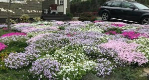 Flowers of native Phlox subulata (moss phlox) en masse at a residential property in April. Photo © Tyler Ormsby