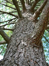 Pinus strobus (Eastern White Pine) bark and trunk in October. Photo © Mary Free