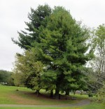 Pinus strobus (Eastern White Pine) at Meadowlark Botanical Gardens in October. Photo © Elaine Mills