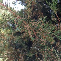 Male strobili of Juniperus virginiana (eastern redcedar) in August. Photo © Elaine Mills
