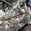 Amelanchier arborea (Downy Serviceberry) flowers in April. Note the down still visible on the branches.Photo © Mary Free
