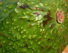 Among the normal lenticels (whitish spots) on this unripe 'Haas' avocado are diffuse brown spots characteristic of lenticel damage. Photo © Mary Free