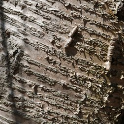Maturing bark of Betula alleghaniensis (yellow birch) showing the elongated lenticels and curling bark in April. Photo © Mary Free