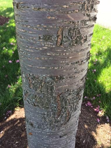 Lenticels as horizontal striations on Prunus 'Asano' (Japanese flowering cherry) in May. Photo © Elaine Mills