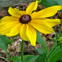 Bristly stems, leaves, and calyxes of native Rudbeckia hirta (black-eyed Susan) in July. Photo © Mary Free