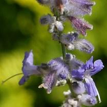 Hirsute calyxes of Perovskia atriplicifolia 'Filigran' (Russian sage) in August.Photo © Mary Free