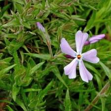 Phlox divaricata var. divaricata (woodland phlox) buds and flower in March. Photo © Mary Free
