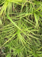 Carex muskingumensis 'Oehme' (muskingum sedge) demonstrating 3-ranked leaves. Photo © Elaine Mills