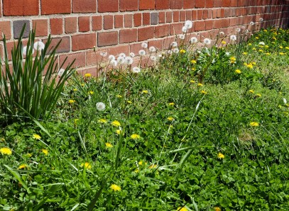 Dandelions and other weeds have emerged in force in April in an area disturbed by construction the previous year. Photo © Mary Free