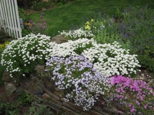 Phlox subulata (Moss Phlox, Moss-pink) in landscape in May. Photo © Elaine Mills