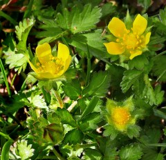 Flowers of invasive Potentilla indica (Indian-strawberry). Photo © Mary Free