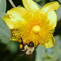 250–650 stamens in a Hypericum frondosum (Golden St. John's-wort) 'Sunburst' flower attended by a bumble bee in June. Photo © Mary Free
