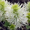 10-32 showy stamens in a Fothergilla gardenii (dwarf fothergilla) apetalous flower abloom in April. Proximal flowers are often staminate. Photo © Mary Free