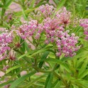 Umbels of native Asclepias incarnata (swamp milkweed) can be paniculate or form broad corymbs. Photo © Mary Free