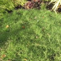 Native buffalo grass (Buchloe dactyloides) lawn alternative. Photo © Susan Morrison, Flickr