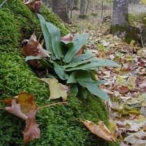 The simple fronds of Asplenium scolopendrium americanum (American hart's tongue fern). Photo courtesy of Linda Swartz