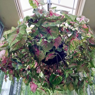Peltate leaves of Caladium bicolor grown as an indoor hanging plant at the Longwood Gardens Conservatory in Pennsylvania. Photo © Elaine Mills
