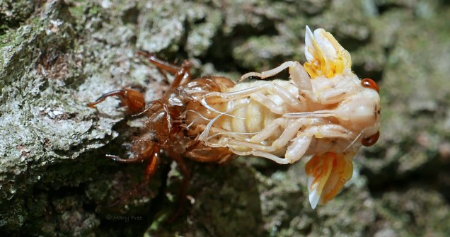 A cicada stretched out from its exoskeleton at 9:05 a.m. Photo © Mary Free