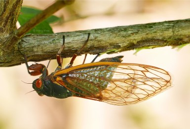 This Brood X cicada has inserted her ovipositor shaft into the slit it cut in the Abelia branch. She pulses her abdomen (depicted by the little bump) to push her eggs through the ovipositor into the slit on May 26, 2021. Photo © Mary Free