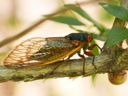A Brood X cicada walks away from her egg nests in the slits in the underside of an Abelia branch on May 26, 2021. Photo © Mary Free