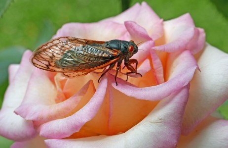 Brood X cicada on Rosa 'LeAnn Rimes' on May 25, 2021. Photo © Mary Free
