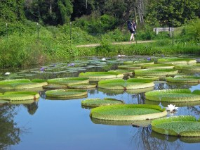 """The floating peltate leaves of Victoria amazonica (Amazon water lily) with their upturned edges are sometimes referred to as """"pie plates."""" They are pictured at the Kenilworth Park & Aquatic Gardens in Washington, DC in August. Photo © Christa Watters"""