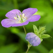 Geranium maculatum (Wild Geranium) flower in male phase (5 outer stamens mature first; stigmas are not open) and developing fruit in May. Photo © Mary Free