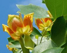Liriodendron tulipifera (Tuliptree) flowers in May. Photo © Mary Free
