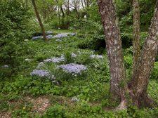 Phlox divaricata (woodland phlox) at Green Spring Gardens, Alexandria, Virginia in April. Photo © Mary Free