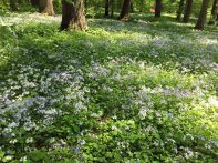 Phlox divaricata (woodland phlox) at Winterthur Gardens, Delaware in May. Photo © Elaine Mills