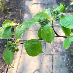 Alternate leaf arrangement of native Cornus alternifolia (alternate-leaf dogwood) in April. Photo © Elaine Mills