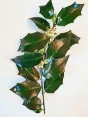 Alternate leaf arrangement of hybrid Ilex x meserveae (meserve holly). Photo © Christa Watters