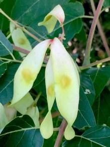 Samaras of invasive Ailanthus altissima (tree-of-heaven) in August. Photo © Elaine Mills