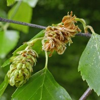 """The aggregated samaras of native Betula nigra (river birch) shown in May with the """"cone"""" to the right beginning to break apart. Photo © Mary Free"""