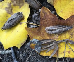 """The fallen samaras of Liriodendron tulipifera (tuliptree) aggregated in """"cones"""" and in a base whorl in October. Photo © Elaine Mills"""