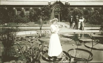 This young lady played a violin standing on a Victoria water lily at the Missouri Botanical Gardens ca. 1905. Apparently, a towel protected the delicate leaf and a wooden plank placed on top distributed her weight allowing the leaf to support her. Photo courtesy of the Missouri History Museum Photographs and Prints Collections.