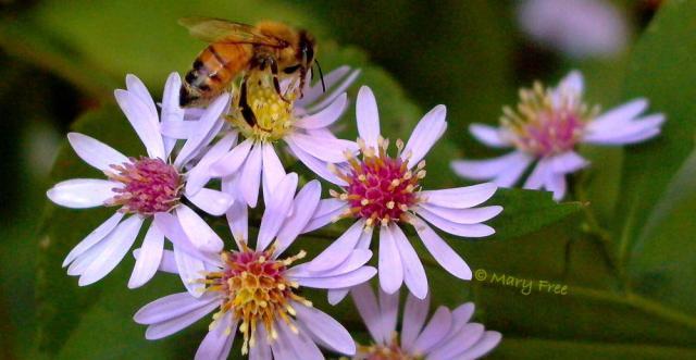 Honey bee on blue wood Aster