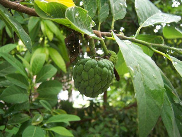 Aggregates of berries of Annona squamosa (custard apple). Photo by Rushikesh Tade
